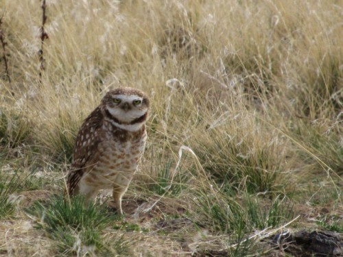 A Burrowing Owl!  What an experience to see this guy (or gal)!