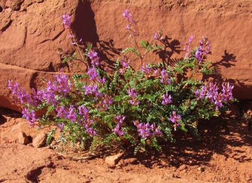 Blooming wildflowers at Canyonlands
