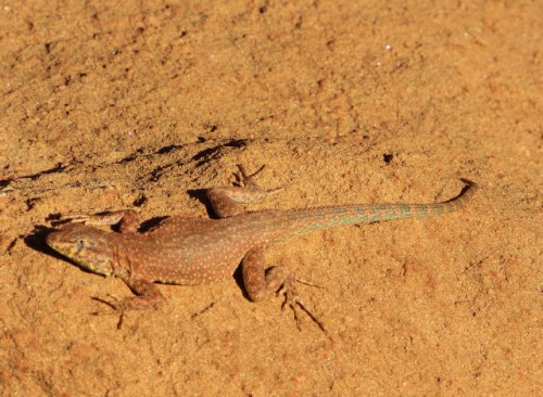 I think this is a Side Blotched Lizard.