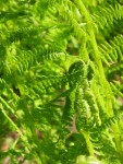 A young fern at Ohme Gardens