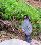 American Robin at Ohme Gardens
