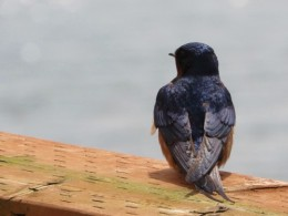 A barn swallow on the pier outside the Rogue Brewery