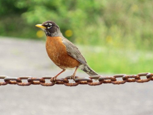 An American Robin on a chain at Battery Russell