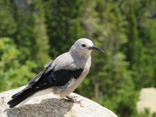 This Clark's Nutcracker spent awhile posing for me.