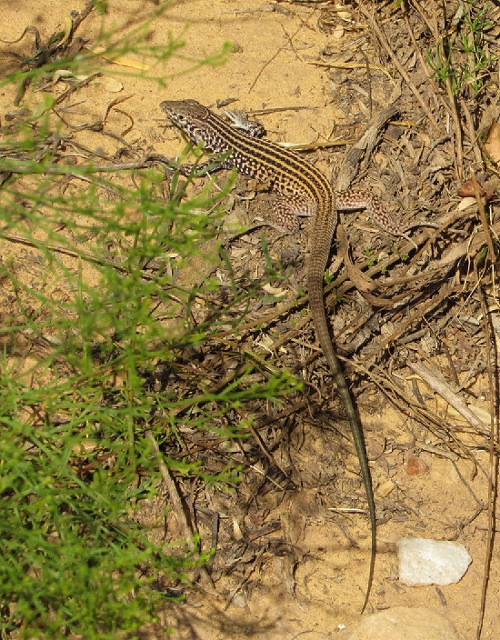 Lizard! He was pretty big! About 16-20 inches with his tail, I would guess.