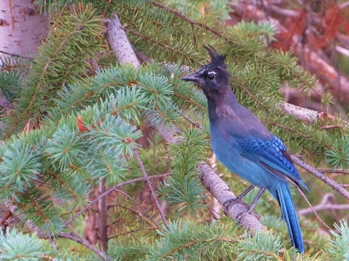 A Steller's Jay - Southern Rockies Morph