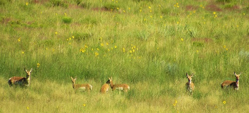 There was a whole line of Pronghorn, watching us, watch them...