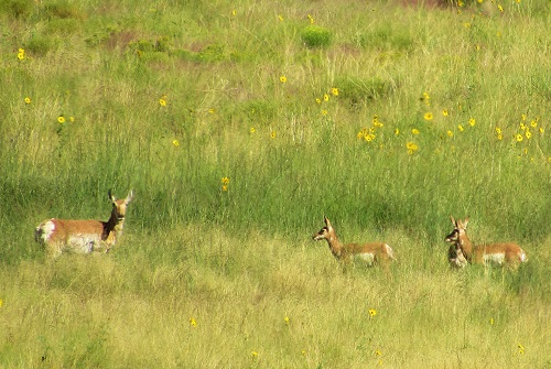 I finally got photos of Pronghorn!