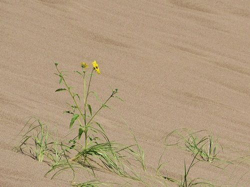 A Prairie Sunflower growing in the sand.