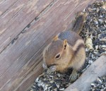 Least Chipmunk enjoying a sunflower seed