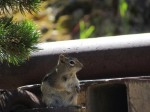 One very pudgy chipmunk