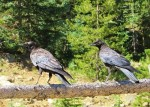 Common Ravens sit on a fence in St. Elmo