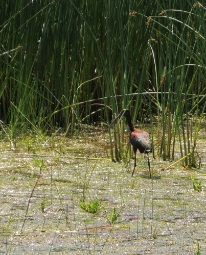 Not a great pic, but it is a White Faced Ibis