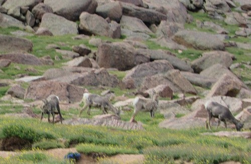 Sorry they are blurry, but I saw Bighorn Sheep!