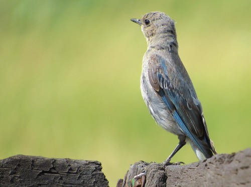 A female Mountain Bluebird at the Hornbek Homestead