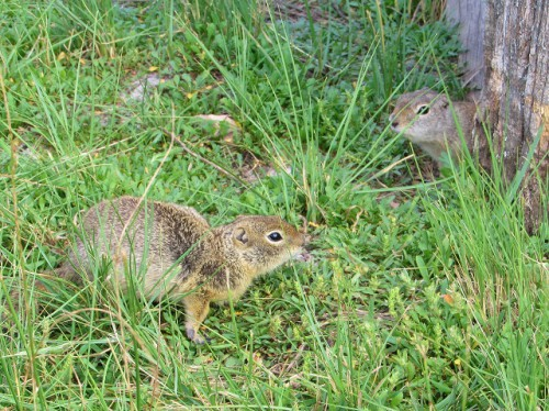Two adorable Wyoming Ground Squirrels at the Hornbek Homestead.