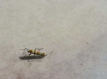 This is apparently an Ailanthus Webworm Moth. Otherwise known as a pretty bug.