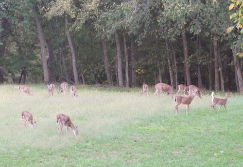 White tailed deer at Monocacy National Battlefield
