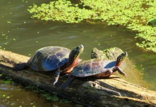A painted turtle couple sunning themselves.