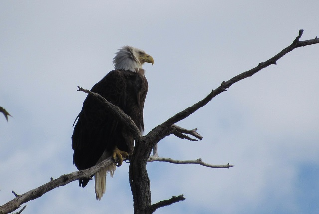 A Bald Eagle at George Washington Birthplace National Monument