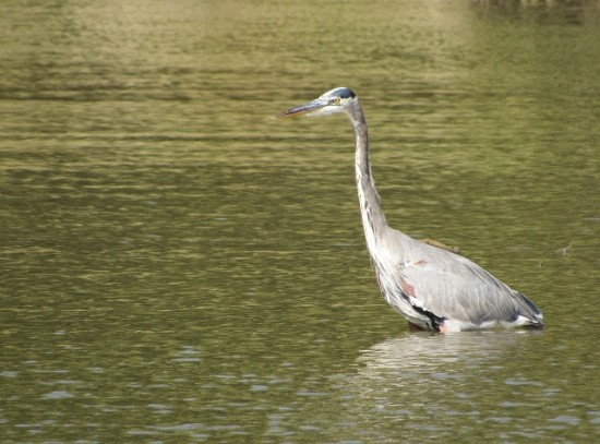 Great Blue Heron at George Washington Birthplace National Monument