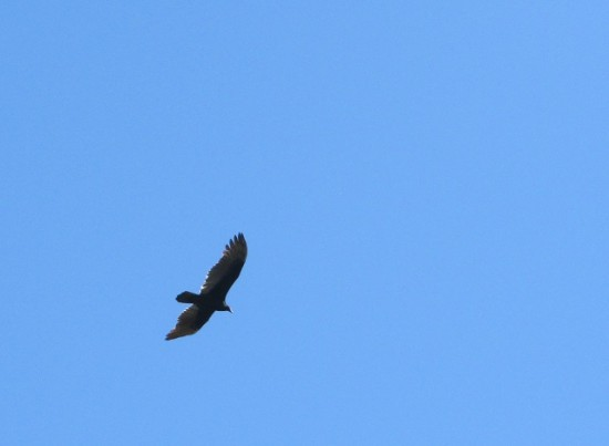 A turkey vulture flying over the battlefield.