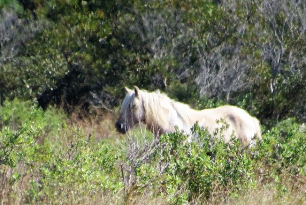 A palomino stallion on Assateague Island.