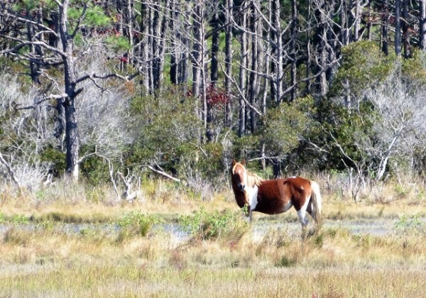 A pinto mare on Assateague Island.