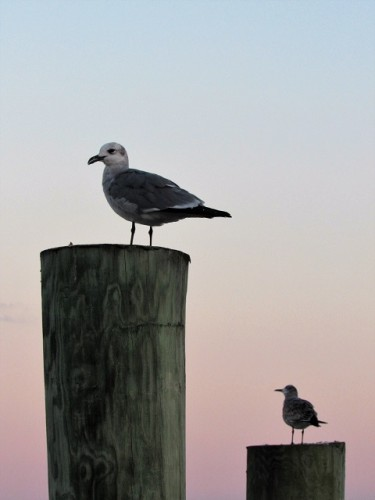 Seagulls enjoying the sunrise on Chincoteague Island
