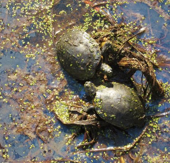 Jamestowne-Turtles