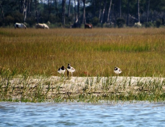 American Oystercatchers on Assateague Island with a background of ponies!
