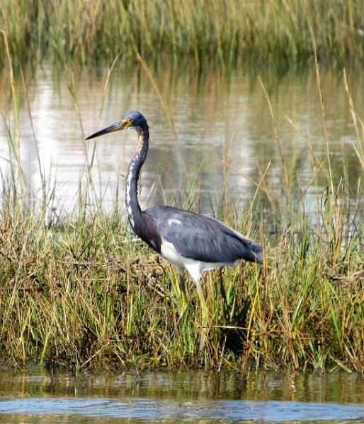 A Tri-Colored Heron - he was gorgeous!