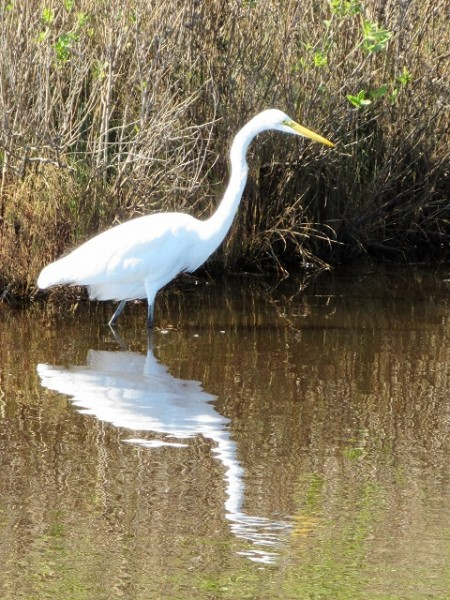 A Great Egret at Chincoteague