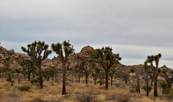Joshua Trees everywhere!