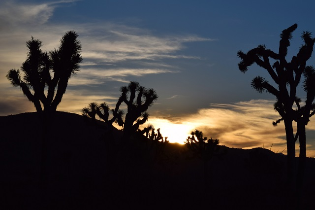 The sun sets over Joshua Trees...