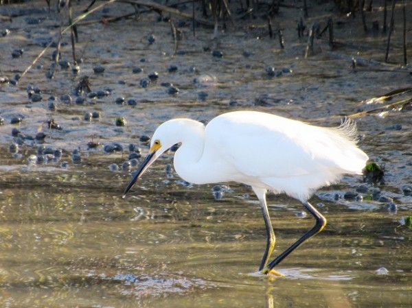 A Snowy Egret at the refuge.