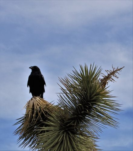 A raven stands watch at Joshua Tree