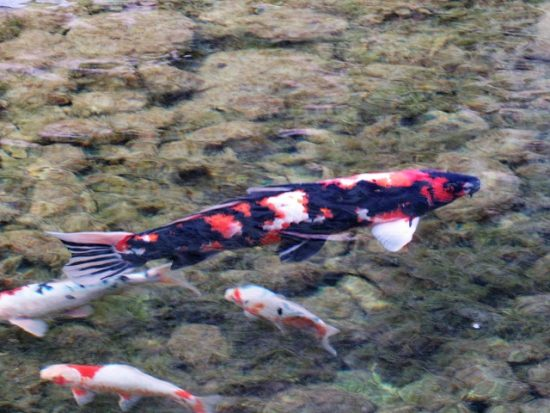Some of the Koi at the Japanese Garden