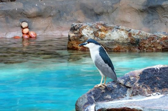 A Black-Crowned Night Heron waiting for dinner at the seal pool.