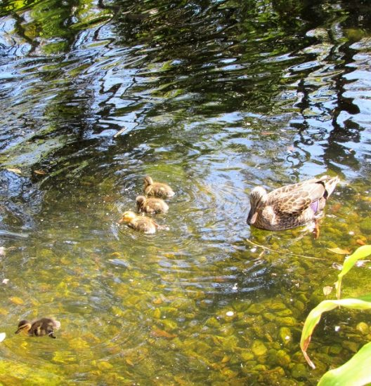 It was spring, and there were lots of ducklings swimming in the resort's ponds