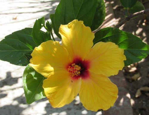This gorgeous hibiscus was blooming at the resort.
