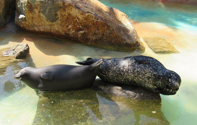 Rescued Harbor Seals live there!