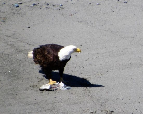 A Bald Eagle feeding on a fish at the Dungeness National Wildlife Refuge
