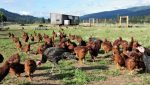 The chickens and turkeys on the farm