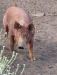 A pig on the organic farm