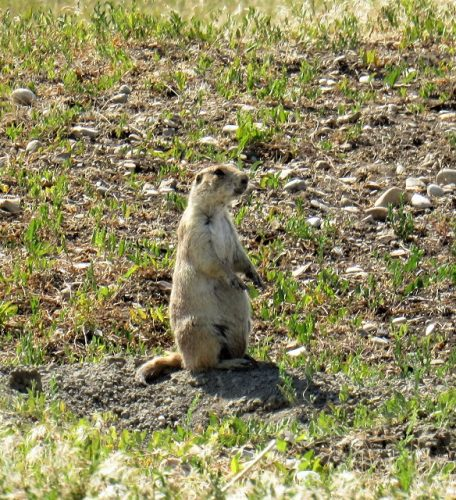 little-bighorn-prairie-dog
