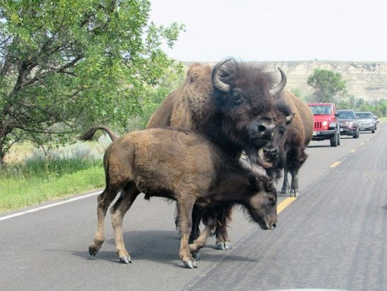 "A bison baby trying to bully ""Daddy"""