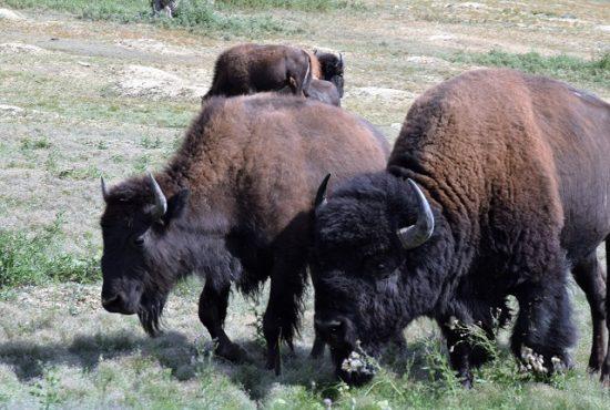 Bison wandering