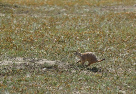 A Prairie Dog running!