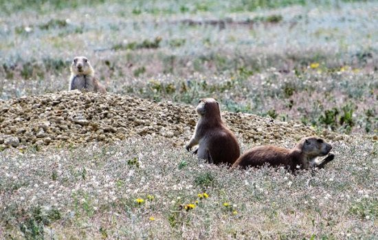 Prairie Dogs with their Sentry
